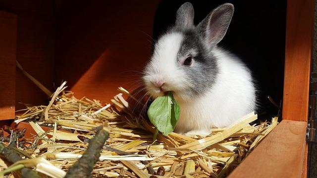 krmení králíka