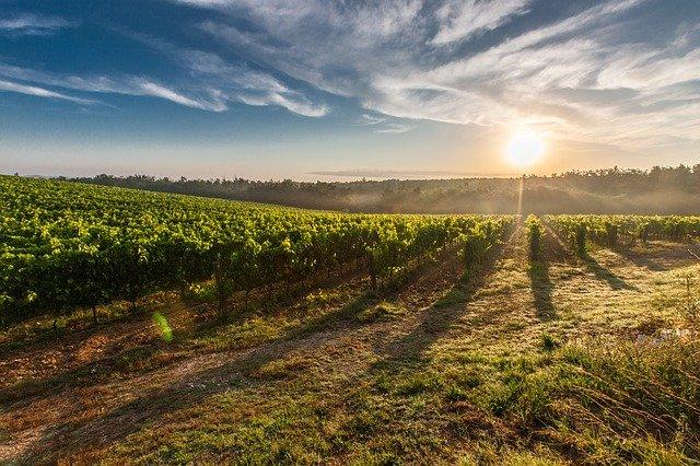 vinice v Toskánsku
